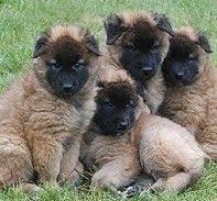 belgian sheepdog types belgian tervuren belgian tervuren pictures information