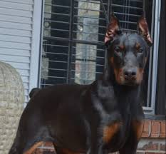 belgian sheepdog for sale in michigan worldclassk 9 family protection dogs for sale personal