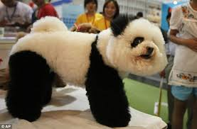 bichon frise long hair who gave me panda eyes the poodle dyed to look like a panda
