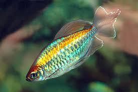 Buy Ornamental Fish Congo Tetra Live Ornamental Fish No 1 Buy Congo Tetra Product