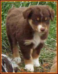 australian shepherd puppies 7 weeks bandit u0027s spring litter 1 pup4 bet blue eyed red tri male