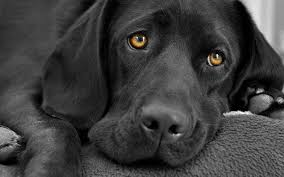 black and white dog wallpapers group 70