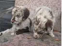 australian shepherd x golden retriever golden lab dog history