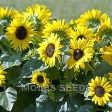 sunflower suntastic yellow black centre helianthus annuus