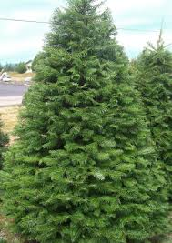 christmas tree types available at big wave dave u0027s