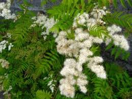 Shrub Small White Flowers - shrubs and trees s z orkney shrubs and trees