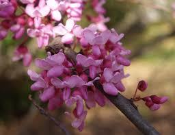 redbud native plant nursery redbud ramblin u0027 through dave u0027s garden