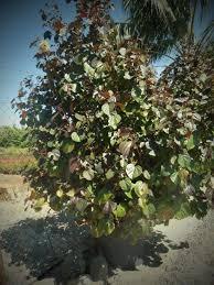 Cottonwood Tree Flowers - 69 best my garden plants perth wa images on pinterest garden