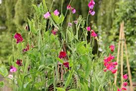 top 5 flowers for the vegetable garden or allotment paperblog
