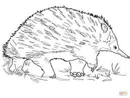 walking echidna coloring page free printable coloring pages