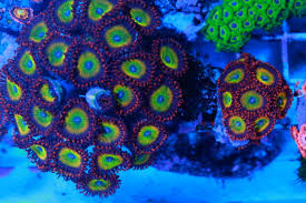 led lighting for zoanthids additive for color in zoas page 2 reef2reef saltwater and reef