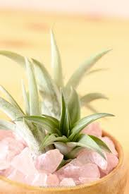 top house plants air plants are the ideal indoor plant no dirt no mess no kidding