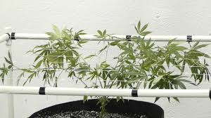 12 plant 12 light scrog grow after 1st trellis setup youtube