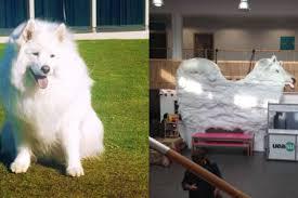american eskimo dog yahoo university immortalizes nice cloud dog with equally nice 10 foot