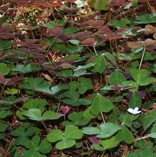 native plants of france gardening under redwoods dealing with dry shade acidic soil and