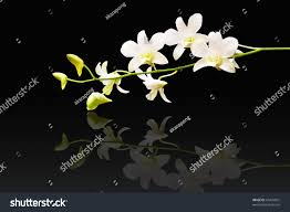 White Dendrobium Orchids Stalk White Dendrobium Orchid Isolated On Stock Photo 63433831
