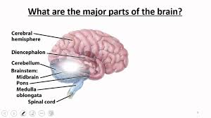 Anatomy And Physiology Of The Brain Nervous System Brain U0026 Cranial Nerves Youtube