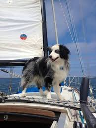 australian shepherd vocal black and white australian shepherd dogs pinterest