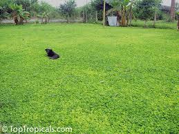 arachis hypogaea arachis glabrata peanut toptropicals