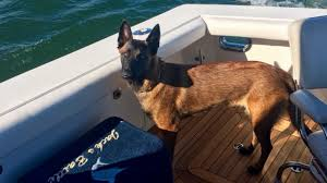 belgian shepherd vs husky puppy swims 6 miles back to shore after falling off family