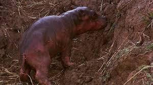 si e social hippopotamus a newborn hippo takes his breath from hippo ganglands