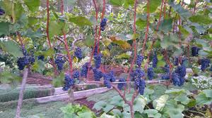 how to grow grapes in your backyard u2014 steemit