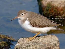 spotted sandpiper identification all about birds cornell lab