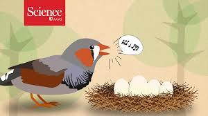 zebra finch parents tell eggs it u0027s outside science aaas