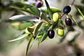 olive trees lovetoknow