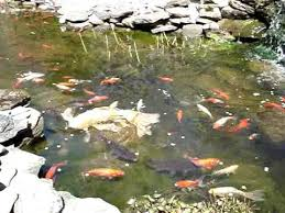 Pictures Of Backyard Ponds by Backyard Goldfish Koi Pond In The Spring And First Feeding Of The