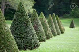 Cone Tree Group Of Evergreen Pruned Cone European Box Tree Bushes Or