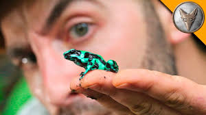 to catch a poison frog youtube