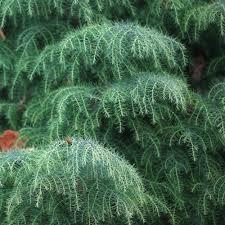conifers small conifer trees ornamental trees ltd
