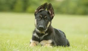 belgian shepherd virginia northern virginia dog training northern virginia blog