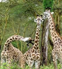 guide to kenyan species giraffes university of exeter africa