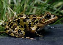 northern leopard frog kids for turtles environmental education