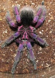 platyomma tarantula photo by roberta grace spiders