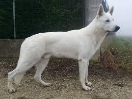 australian shepherd 7 mesi bruno in real life baiuland club kennel