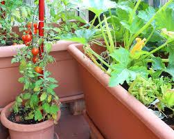 gem se pflanzen balkon gemüse das sich im kübel lohnt rüben