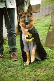 Dogs Halloween Costumes 20 Batman Dog Costume Ideas Bat Dog