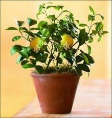 Great Indoor Trees Hgtv by Hgtv How To Grow A Lemon Tree In A Pot I Must Try This