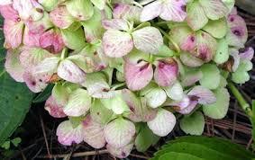 White Hydrangeas All About Hydrangeas Green Blooms