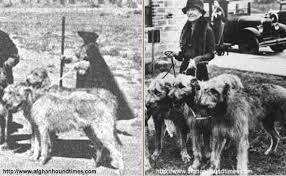 afghan hound ireland afghan hound times amelia and martha white kandahar afghan