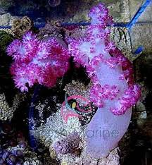 293 best coral images on saltwater aquarium reef