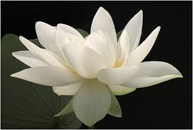 white flower white flower 4 wide wallpaper hdflowerwallpaper