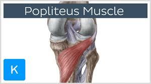 Interactive Knee Anatomy Popliteus Muscle Function U0026 Anatomy Human Anatomy Kenhub