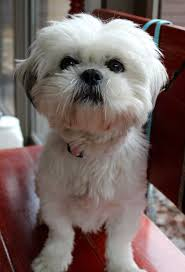 american eskimo dog rescue indiana munster in shih tzu meet blossom and ranger a dog for adoption