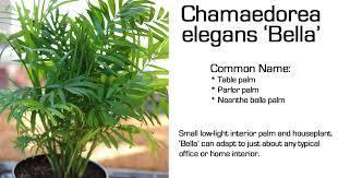 small low light plants neathe bella palm table top chamaedorea elegans bella