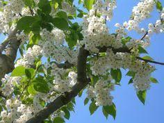 pyrus calleryana chanticleer buy ornamental pear tree callery