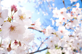 cherry blossom flowers cherry blossom facts mforum